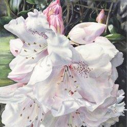 Showell semi shade rhododendron screen shot copy