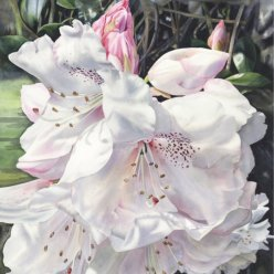 Showell semi shade rhododendron screen shot copy