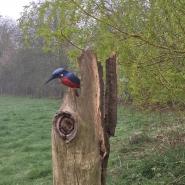 Juliet kingfisher on stump