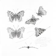 004: Study of a butterfly 001 (graphite), 39 x 35cm, framed, £495